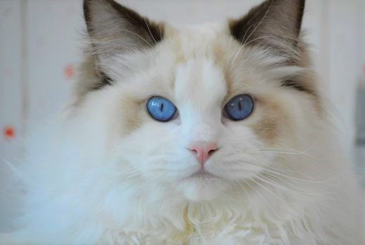 11.-cat-gatto-ragdoll-felino-occhi-blu-diamanti-diamante-faccione-blue-kiss-bacio-chocolate-520x350