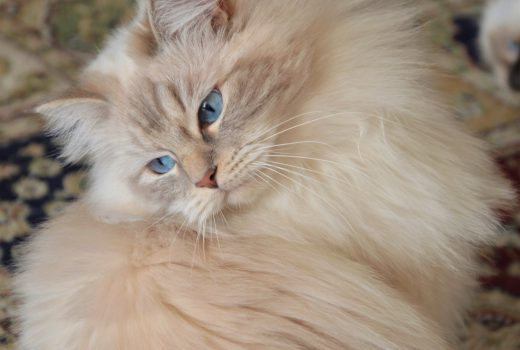 6. gatto cat ragdoll chat casa appartamento domestico longevo salute
