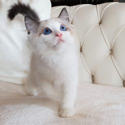 gatto ragdoll maschio seal bicolor bianco marrone scuro occhi blu pet therapy casa